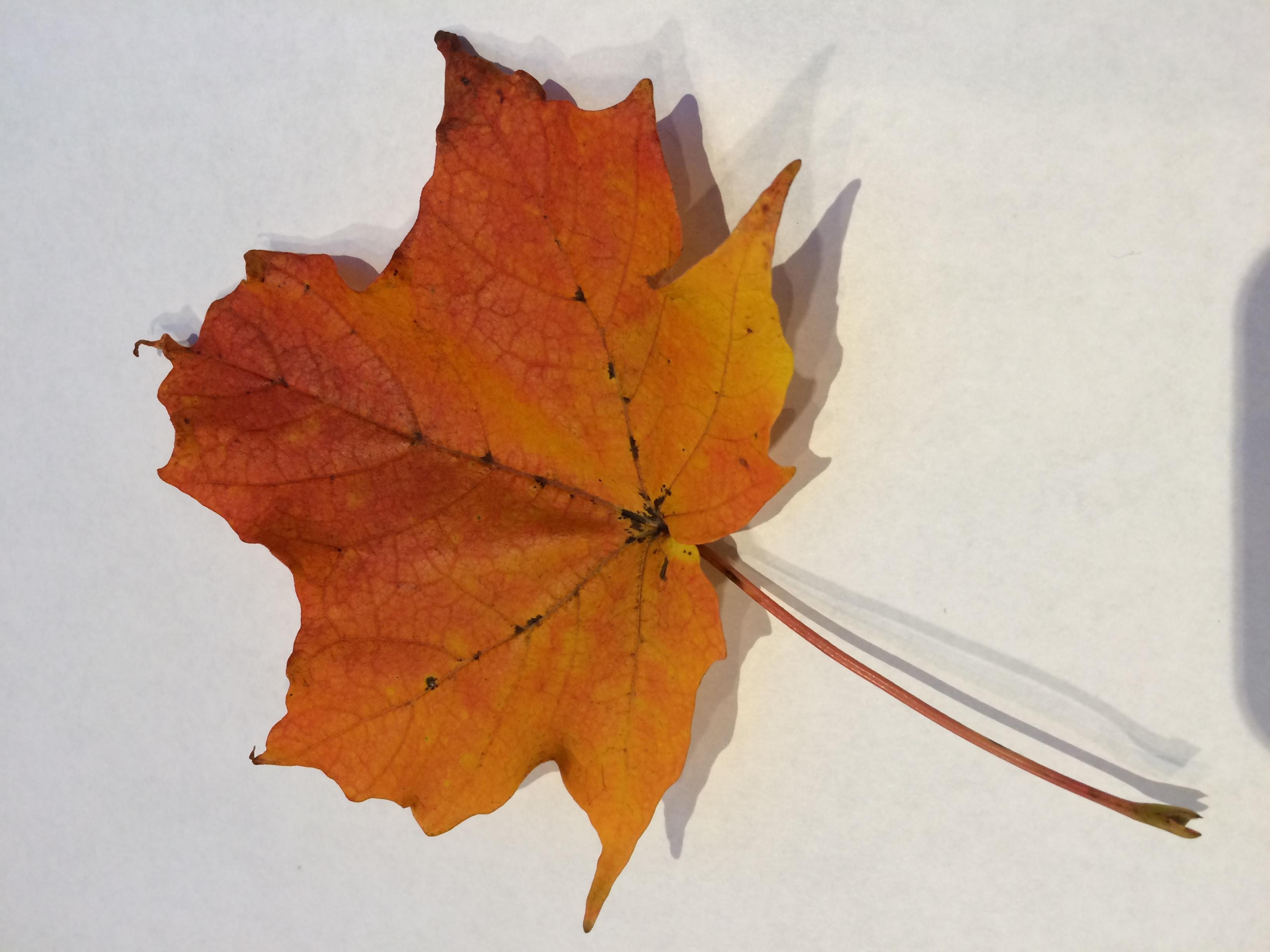 gwl/static/gwl/images/new-leaves/red-3.jpg