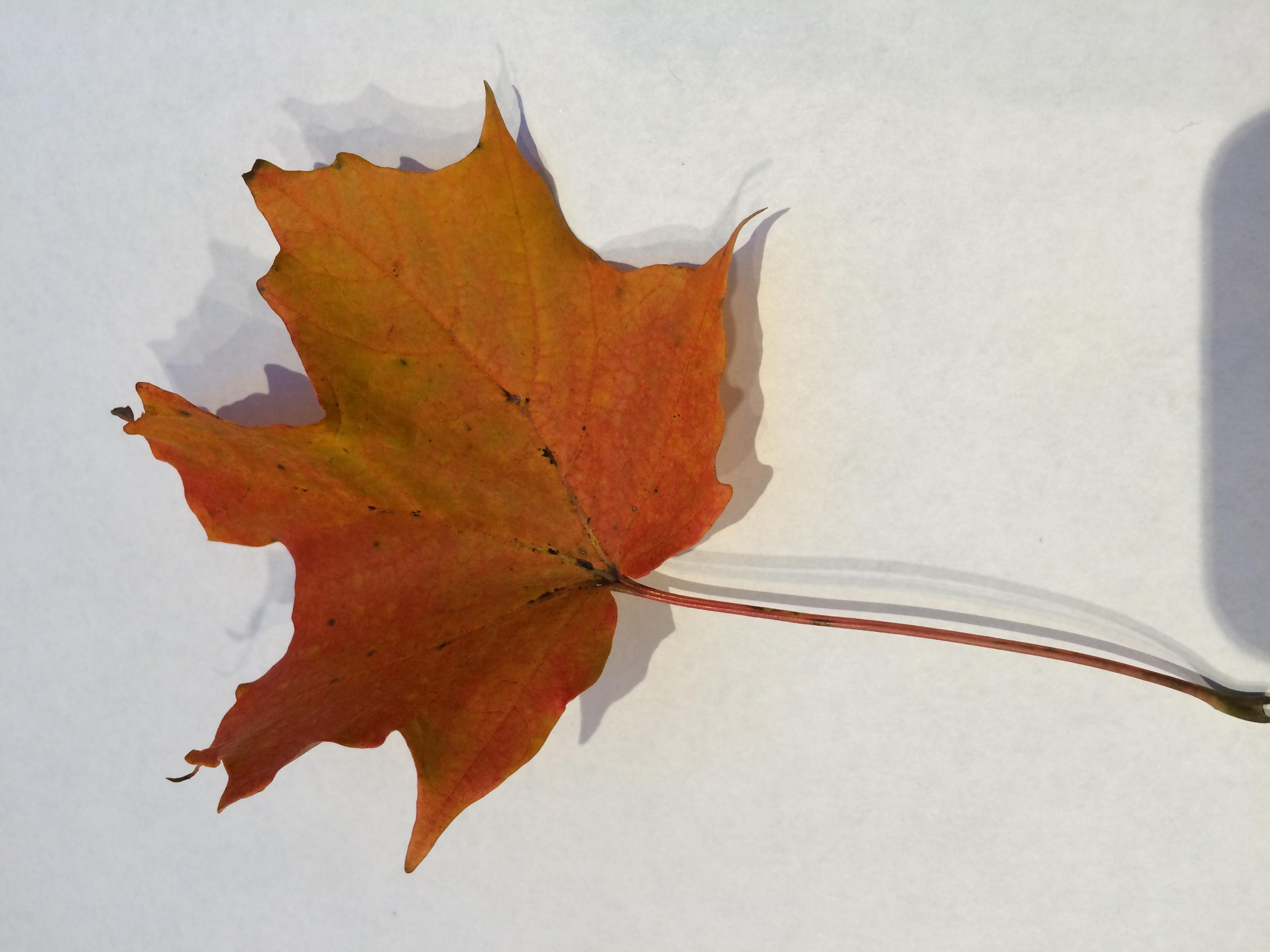 gwl/static/gwl/images/new-leaves/red-4.jpg