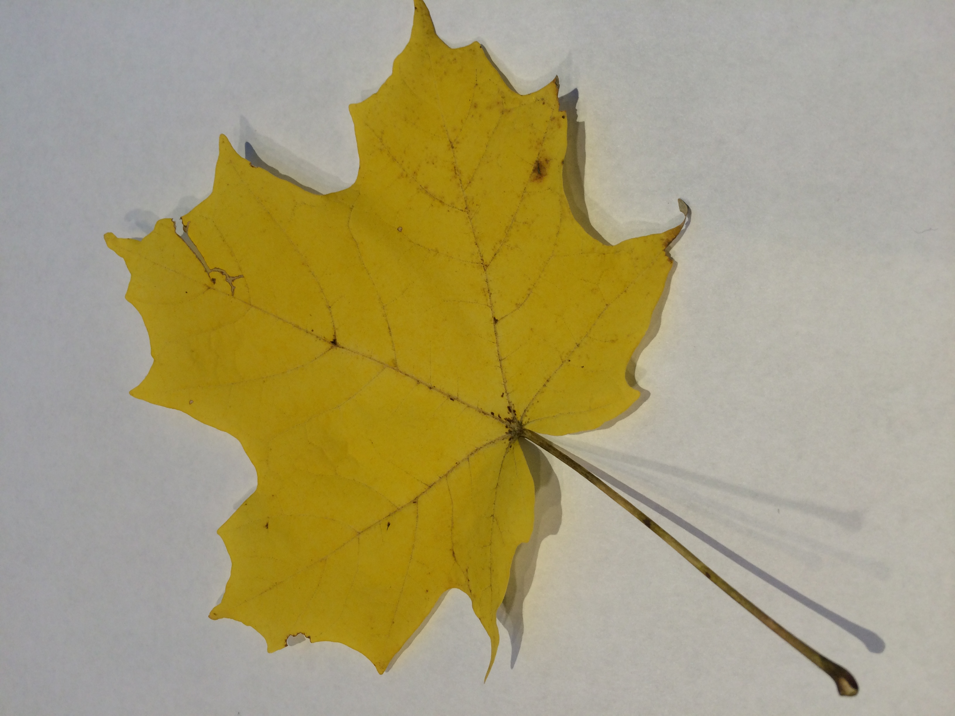 gwl/static/gwl/images/new-leaves/yellow-1.jpg
