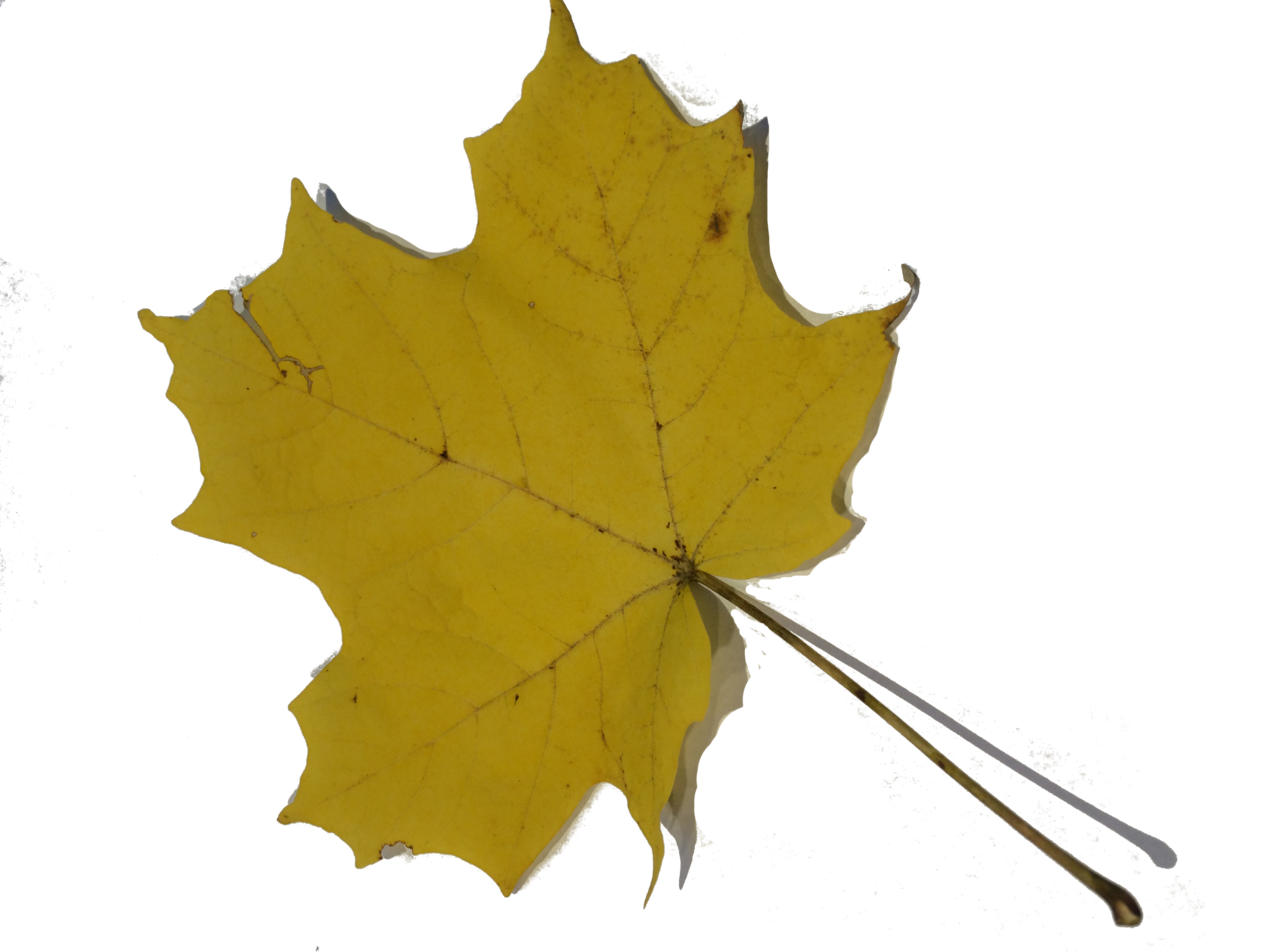 gwl/static/gwl/images/new-leaves/yellow-1.png