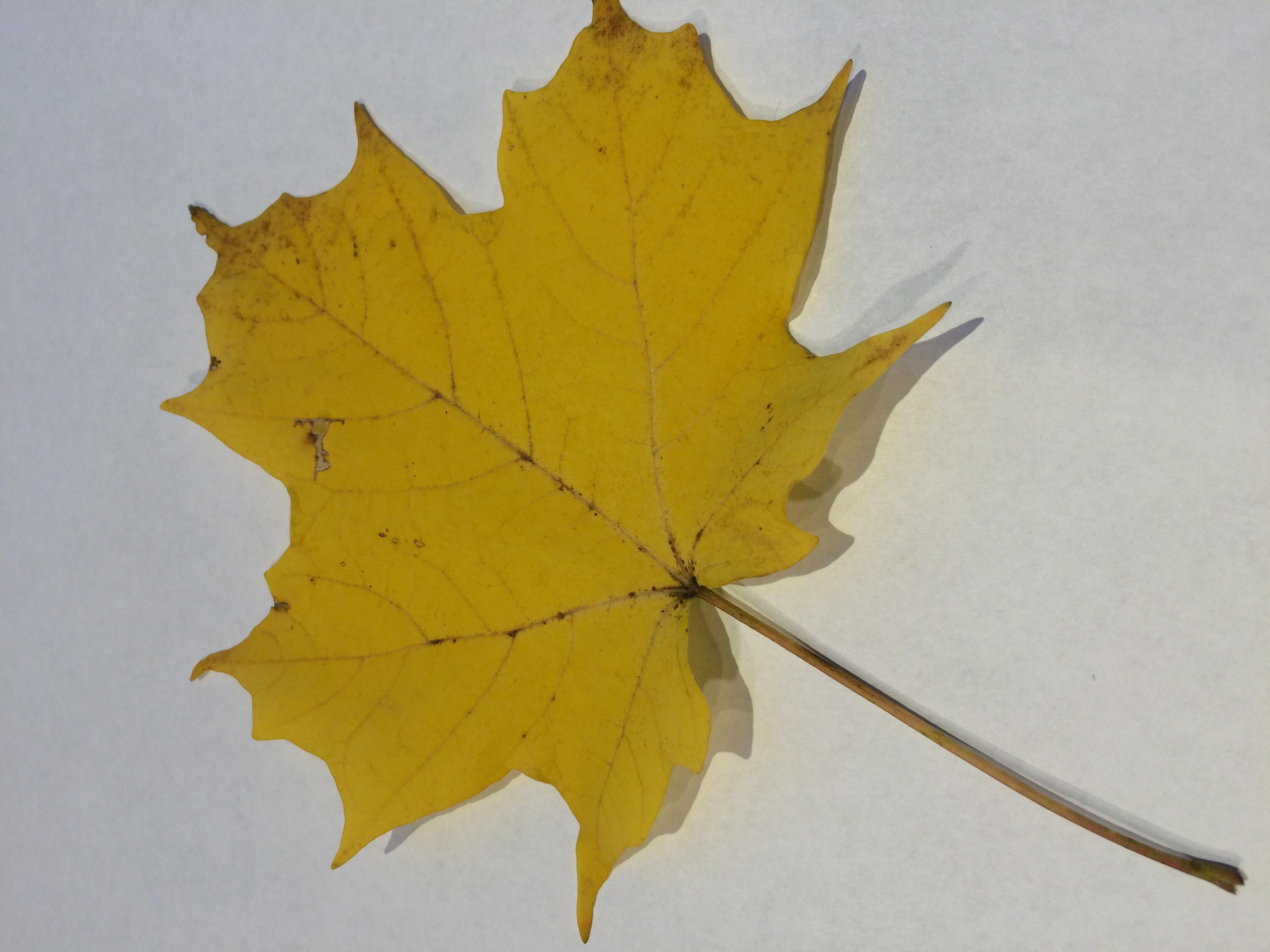 gwl/static/gwl/images/new-leaves/yellow-2.jpg